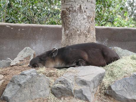 bairds_tapir