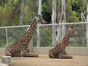 Giraffes in Symmetrical Pose