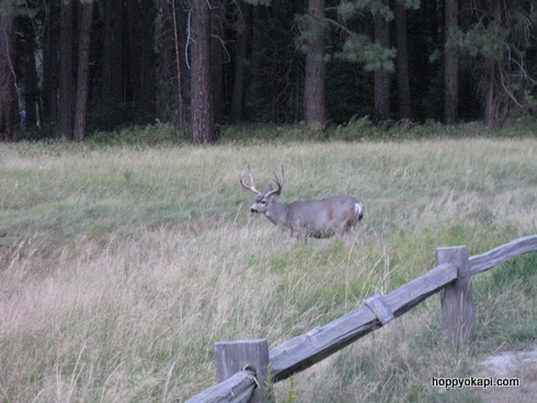 Buck in the meadow