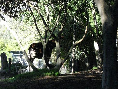 Okapi hiding in the trees