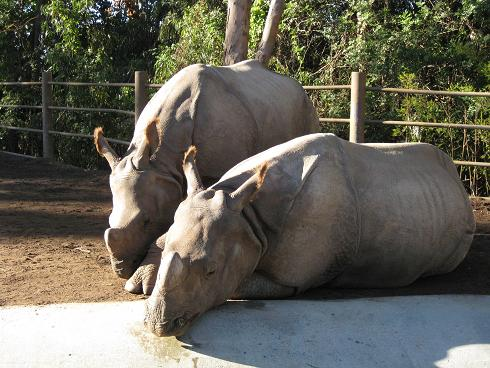 friendly rhinos