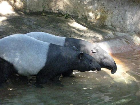 Malayan Tapirs in the pool