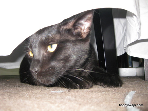 Zephyr hides under the chair cover
