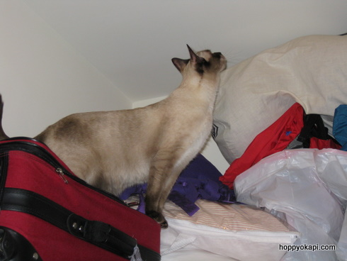 Athena explores the top o' the closet...