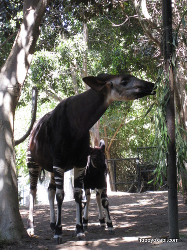Baby okapi hiding in mom's shadow