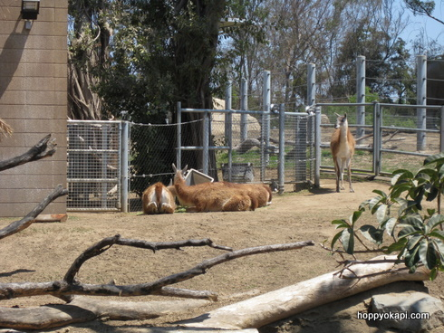 Guanacos enjoying their new exhibit