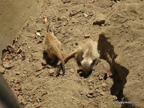 Digging - it's what meerkats do!