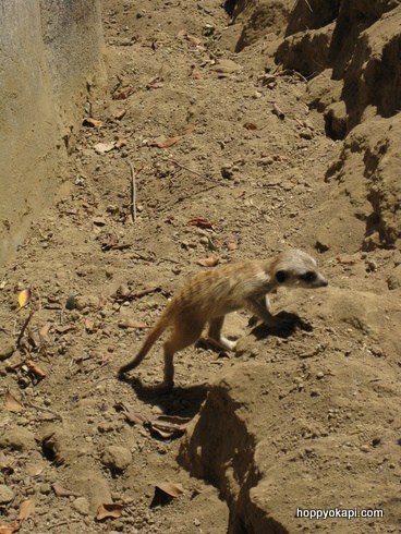 Baby meerkat on the run