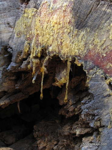 Gooey sap on tree trunk