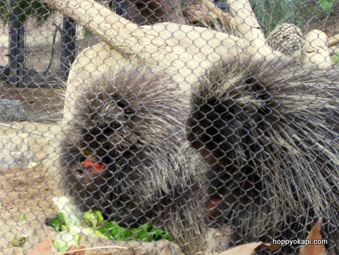 Porcupines nibbling vegetables - so cute!